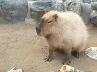 桐生ヶ丘動物園 カピバラ
